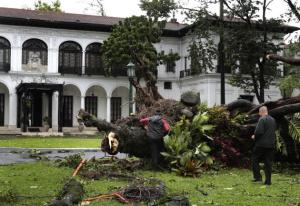 NOT even Malacañang Palace is spared by Glenda, as this 100-year-old acacia tree is uprooted by the supertyphoon's strong, turbulent winds. (anc.yahoo.com)